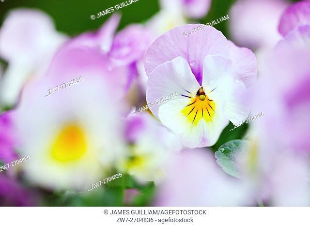 Viola cornuta F1 Deltini Rose Pink