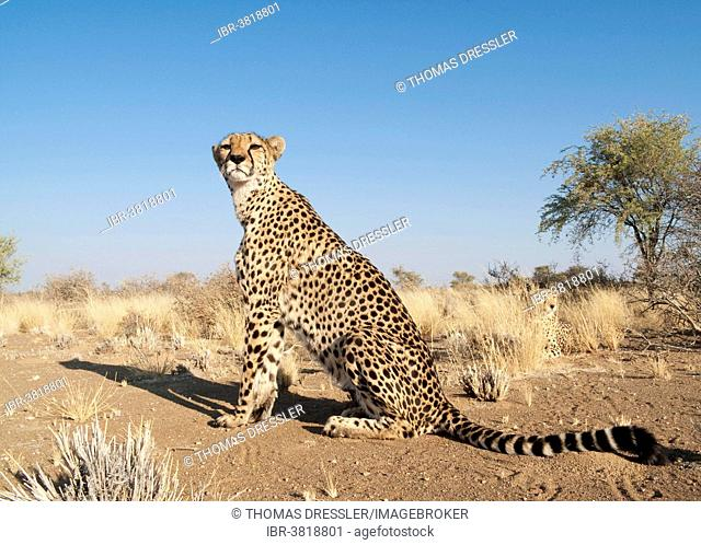 Cheetah (Acinonyx jubatus), female, resting in the grass to her right a male, captive, Namibia