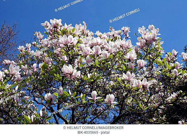 Saucer Magnolia (Magnolia x soulangeana), in full bloom, Bavaria, Germany