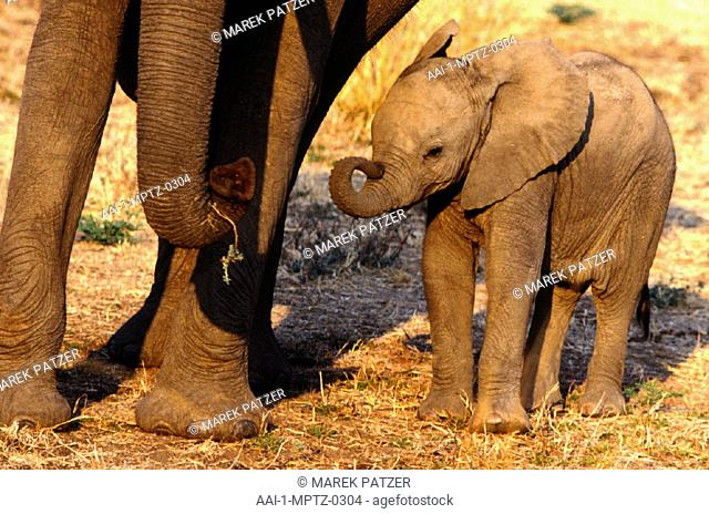 Elephant Calf, South Luangwa National Park, Zambia