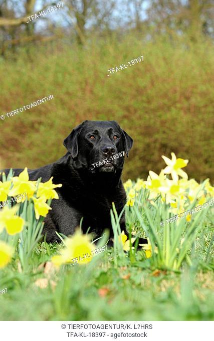 lying Labrador Retriever