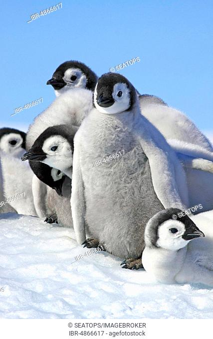 Emperor penguins (Aptenodytes forsteri), penguin colony in ice, group of animals, young animals, Antarctica