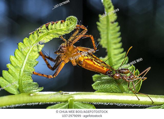 A red ant attacking a lynx spider. Image taken at Kampung Skudup, Sarawak, Malaysia