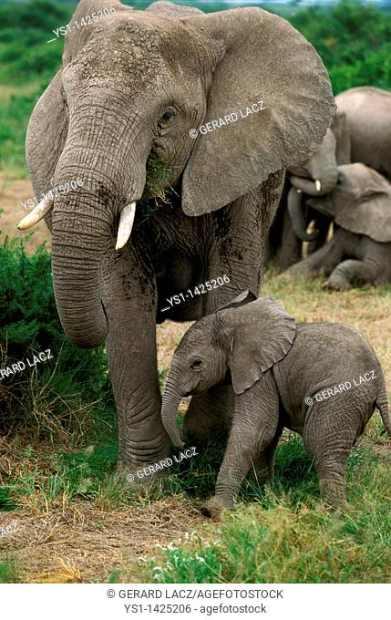 AFRICAN ELEPHANT loxodonta africana, MOTHER WITH CALF, KENYA