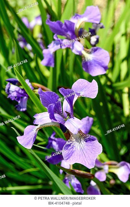 Irises (Iris), Devon, United Kingdom