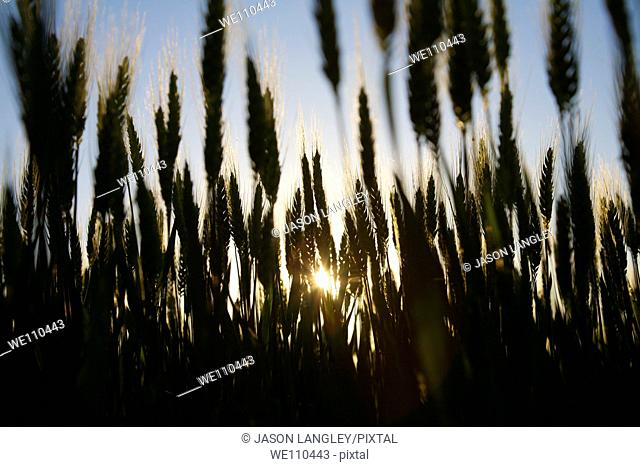 Low-Angle view of wheat growing on a small organic farm in rural France in late spring  Backlit by the setting sun  La Creuse, Limousin, France