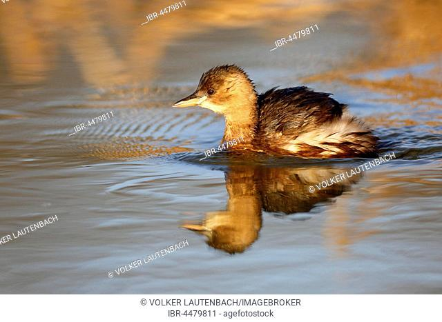 Little Grebe (Tachybaptus ruficollis) in water, plumage, Middle Elbe Biosphere Reserve, Saxony-Anhalt, Germany