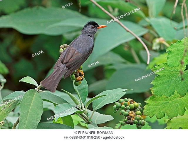Madagascar Bulbul (Hypsipetes madagascariensis madagascariensis) adult perched on fruiting tree, Madagascan endemic;  Perinet, Madagascar       October