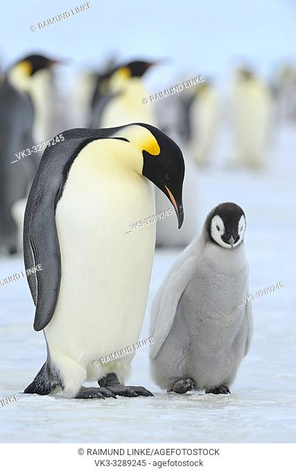Emperor penguins, Aptenodytes forsteri, with a Chick in Penguin Colony, Snow Hill Island, Antartic Peninsula, Antarctica