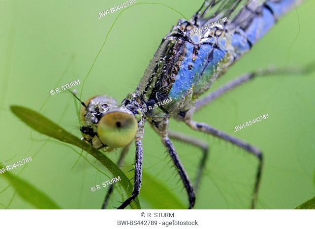 red-eyed damselfly (Erythromma najas, Agrion najas), female in an air mantle under water, Germany, Bavaria