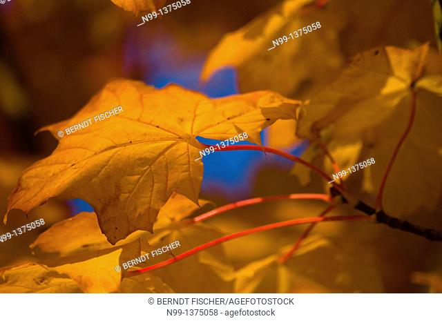 Male leaves, colours of autumn, Bavaria, Germany