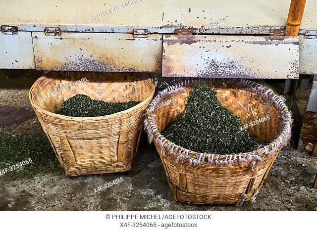 China, Sichuan province, Mingshan, tea factory