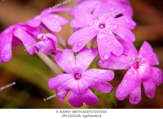 Rose mock vervain (Glandularia canadensis) blooms brightly on a Spring morning; Florida, USA