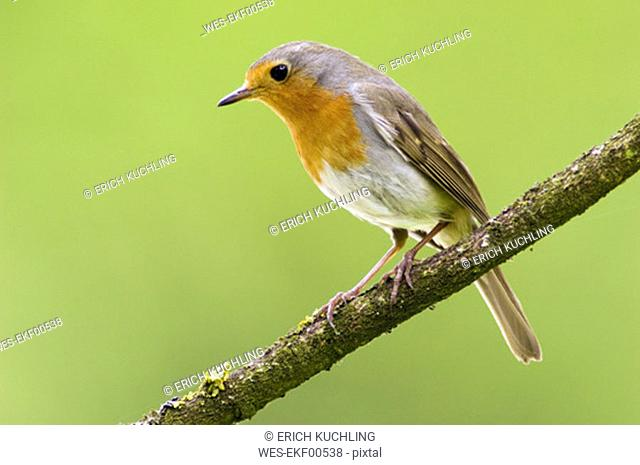 Red breast, erithacus rubicula