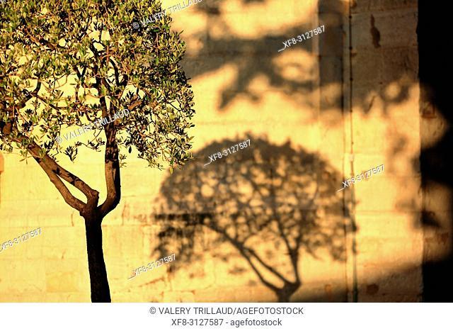 olivier, Grasse, Prealpes d'Azur, 06, Alpes-Maritimes, Cote d'azur, PACA,
