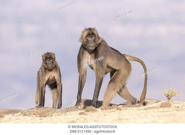 Africa, Ethiopia, Rift Valley, Debre Libanos, Gelada or Gelada baboon (Theropithecus gelada), female and young in the evening at the edge of the cliff before...