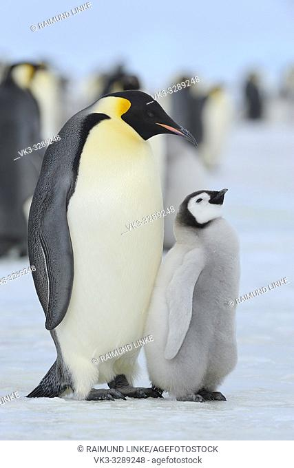 Emperor penguins, Aptenodytes forsteri, with a Chick, Snow Hill Island, Antartic Peninsula, Antarctica