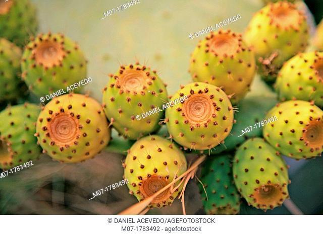 Prickly pears Opuntia ficus-indica, Nerja, Costa del Sol, Andalucia, Spain
