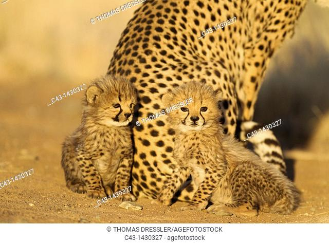 Cheetah Acinonyx jubatus - Two 41 days old male cubs next to their mother in the early morning  Photographed in captivity on a farm  Namibia