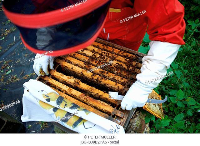 Beekeeper looking into hive