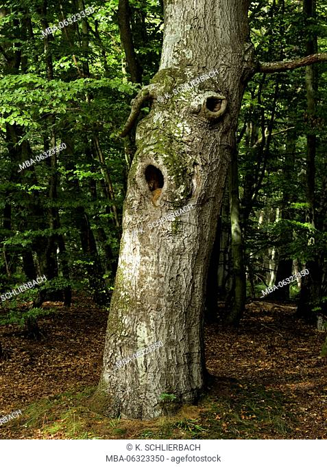 Germany, Mecklenburg-Western Pomerania, Western Pomerania Lagoon Area National Park, Darss Forest, old knobby warped beech with knotholes