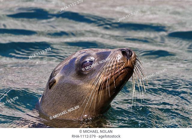 California sea lion Zalophus californianus, Los Islotes, Baja California Sur, Gulf of California Sea of Cortez, Mexico, North America