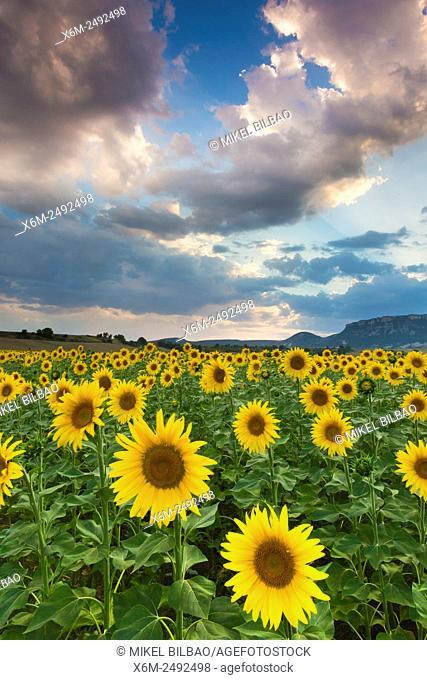 Sunflowers plantation. Tierra Estella county. Navarre, Spain, Europe