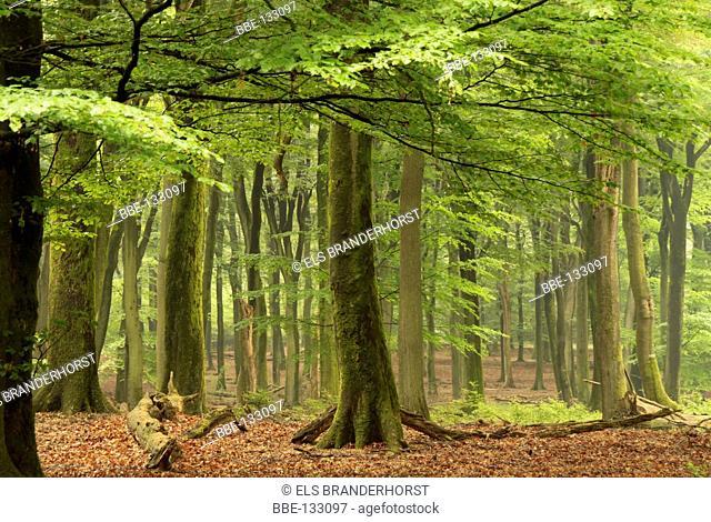 After rainfall a beech forest looks fresh green