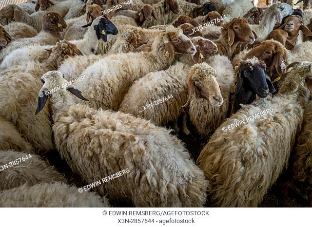 Sheep crowded together at the Al Ain Camel Market, located in Abu Dhabi, UAE