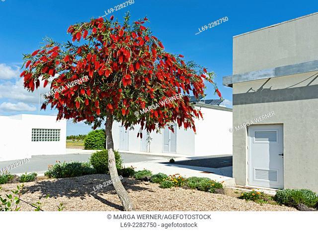 Weeping bottlebrush, Callistemon viminalis, Algarve, Portugal, Europe