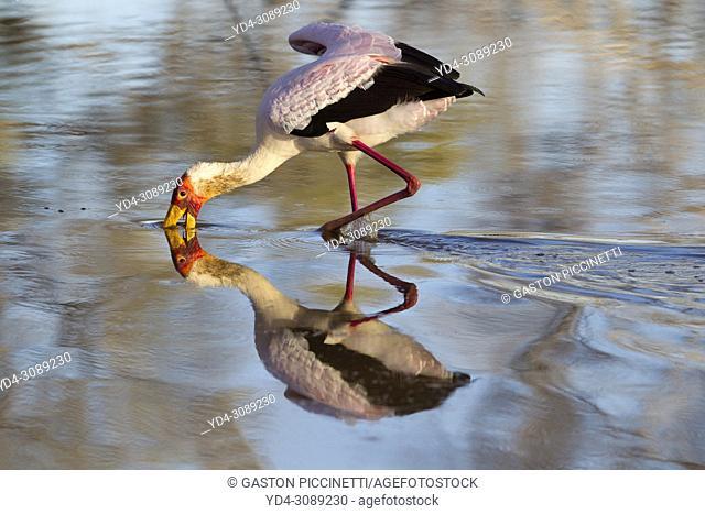 Yellow-billed Stork (Mycteria ibis) - Hunting in a pool. Okavango Delta, Moremi Game Reserve, Botswana