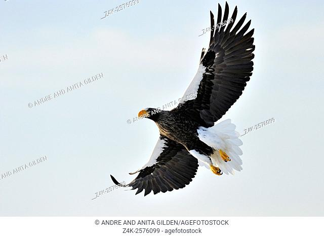 Steller's Sea Eagle (Haliaeetus pelagicus) in flight against white sky, Rausu, Hokkaido, Japan