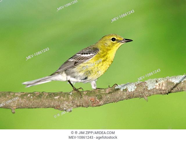 Pine Warbler - spring plumage (Dendroica pinus). Connecticut, USA. Distribution: USA, Mexico and The Caribbean / West Indies