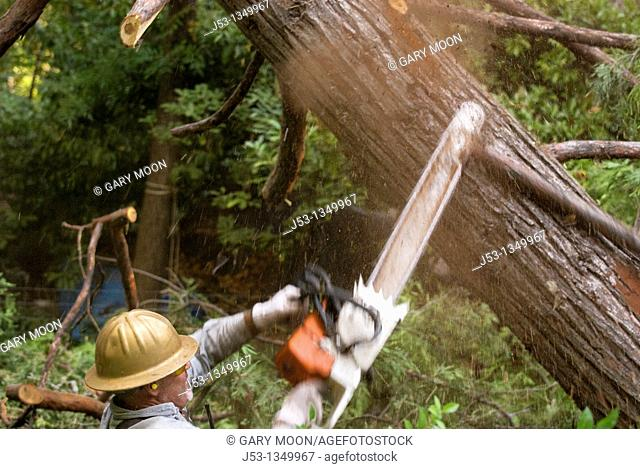 Logger using chainsaw to remove branches from felled tree