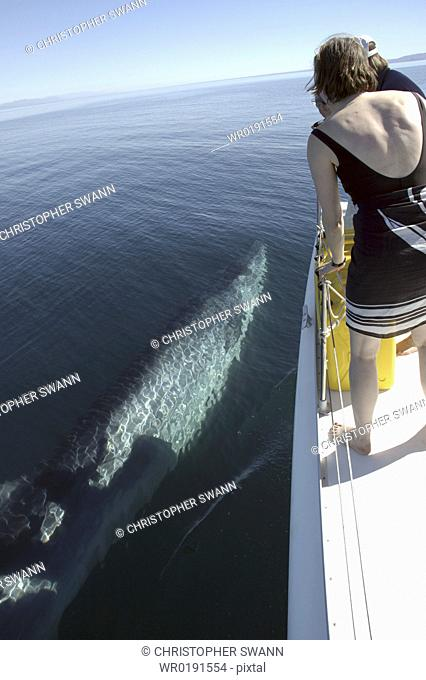 A curious Bryde's whale Balaenoptera edeni swims alongside a boat Gulf of California A4 only