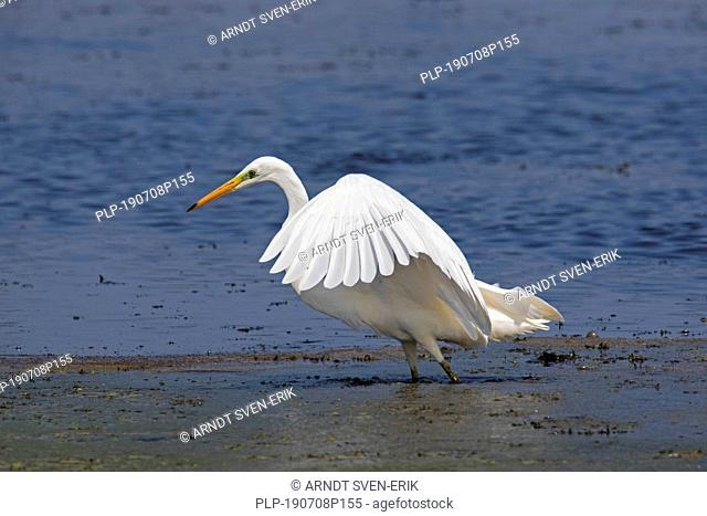 Great egret / common egret / great white egret (Ardea alba / Egretta alba) spreading wings in shallow water of lake