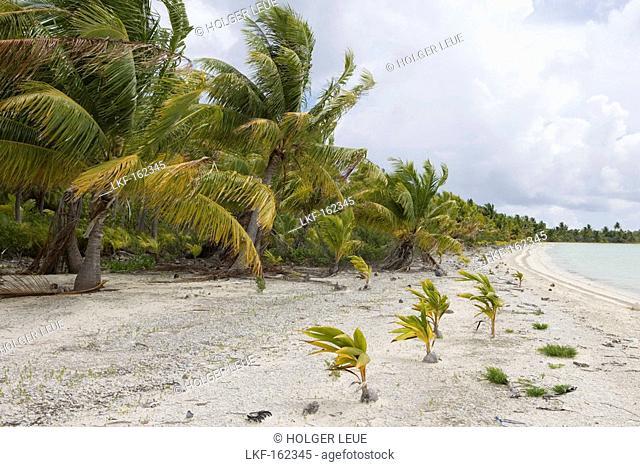 Young coconut trees sprouting on a beach at Fakarava Atoll, Fakarava, The Tuamotus, French Polynesia