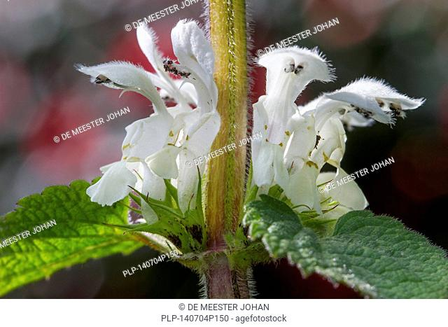 White deadnettle (Lamium album) in flower