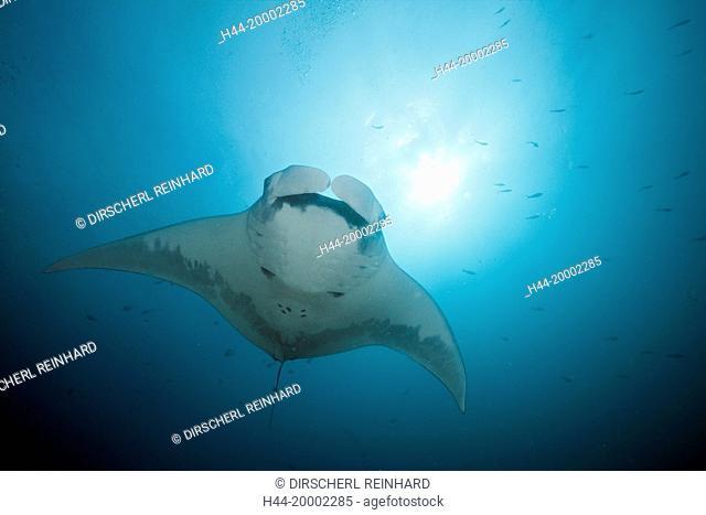 Reef Manta, Manta alfredi, Cabo Marshall, Galapagos, Isabela Island, Ecuador