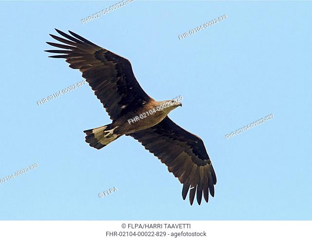 Pallas's Fish-eagle (Haliaeetus leucoryphus) adult, in flight, Kaziranga N.P., Assam, India, March