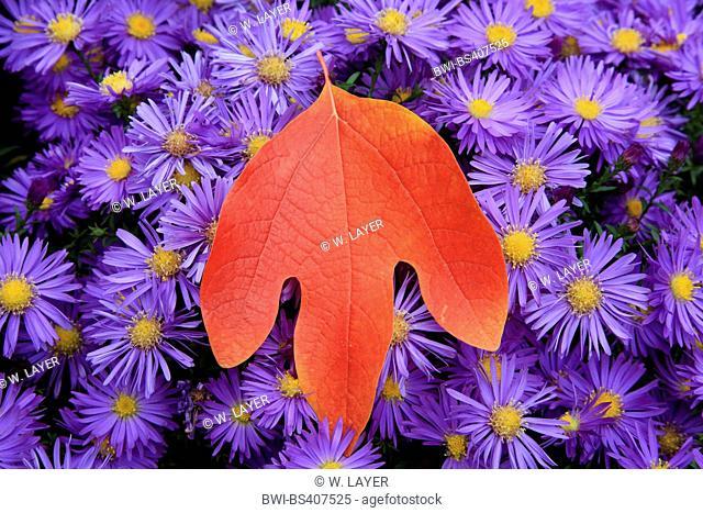 sassafras, white sassafras, red sassafras, silky sassafras (Sassafras albidum), in autumn with asters, Germany