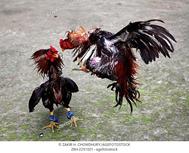 cock fight in Bangladesh