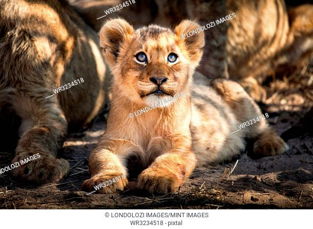 A lion cub, Panthera leo, lies on the ground and looks up out of frame, yellow blue eyes, golden coat