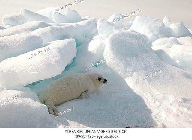 North America, Canada, Quebec, Iles de la Madeleine, harp seal (Phoca groenlandica)