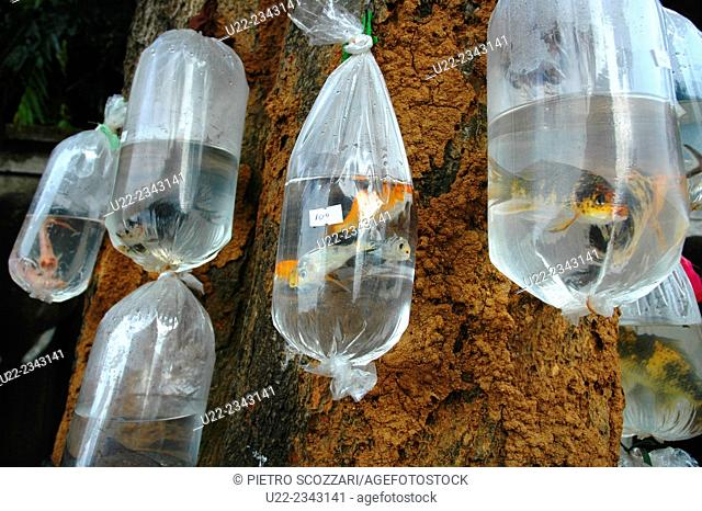 Kandy, Sri Lanka: fishes sold in plastic bags hung at a tree