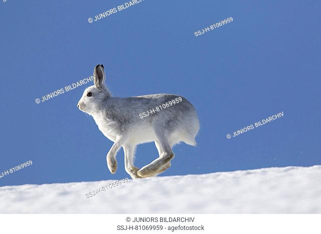 Mountain Hare (Lepus timidus), adult in white winter coat (pelage) running across snow. Cairngorms National Park, Scotland