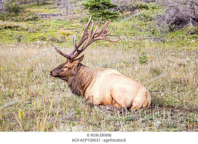 Bull Elk or Wapiti (Cervus canadensis), Jasper National Park, Alberta, Canada