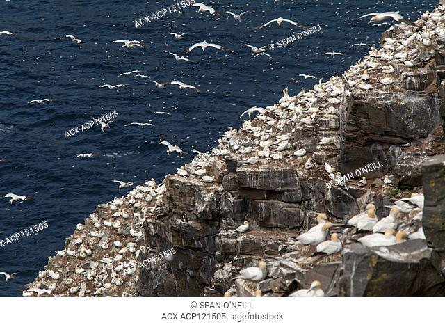 Overview Northern Gannet, Morus bassanus, Cape St. Mary's ecological reserve, Newfoundland, Canada