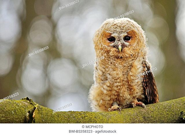 Eurasian tawny owl (Strix aluco), squeeker ditting on a branch, Germany