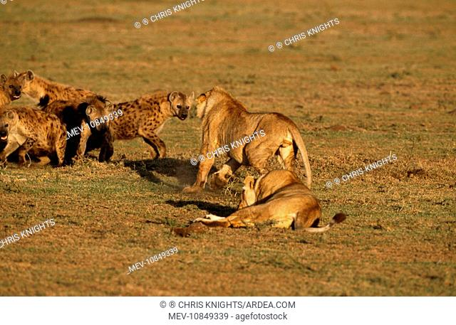 Lioness - having confrontation with Spotted Hyaena (Panthera leo / Crocuta crocuta). Maasai Mara National Park, Africa